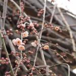 梅の新芽!剪定の時期は?