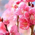 梅の植木!種類の選び方や作り方について!