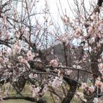 梅の木の特徴とは?寿命や大きさについて!