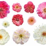 梅の花言葉の由来は?色によって意味が違う?