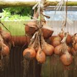 玉ねぎの乾燥期間とは?栄養について!