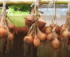 玉ねぎ 乾燥 期間 栄養