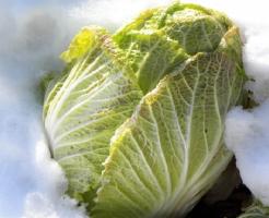 白菜 栽培 冬 甘い
