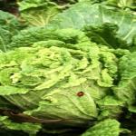 白菜につく虫の種類は?卵の駆除方法とは?