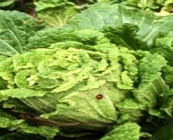 白菜 虫 種類 卵 駆除方法