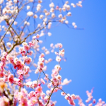 梅に似ている花木との違いは?実は食べられる?