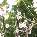 梅の開花や実のなる季節はいつ?見頃は?