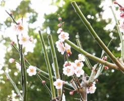 梅 開花 実 季節