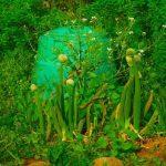 玉ねぎの花が咲く!種まきの時期が関係している?