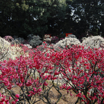 梅の花!おすすめの品種は?