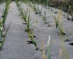 玉ねぎ 追肥 種類 成分 時期 やり方