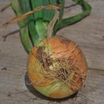 芽が出た玉ねぎの栽培方法は?種の取り方を紹介!