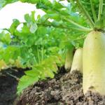 大根の栽培方法や土の中で保存する方法とは?大根の洗い方は?
