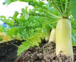 大根 土 栽培 保存 洗う