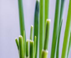 ニラ 根っこ 植える 時期 再生