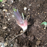みょうがの地下茎ってどんなもの?移植の方法について!