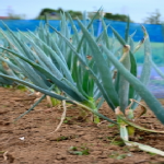 長ネギ栽培で気を付けたい害虫とは?駆除方法は?