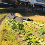 白菜の肥料のやりすぎによる症状とは?対処法は?