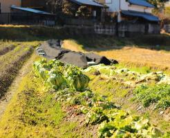 白菜 肥料 やりすぎ 症状 対処法