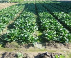 ほうれん草 栽培 露地