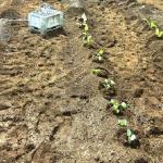 ブロッコリーの定植方法とは?栽培時のポイントは?