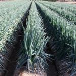 長ネギの土寄せとは?苗の植え付けと肥料の時期とその方法について!