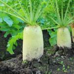 大根の産地の順位とは?栽培の季節はいつ?