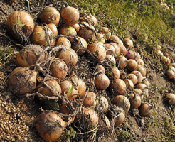 玉ねぎ 収穫後 乾燥
