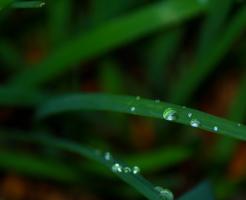 ニラ 栽培 根 植える