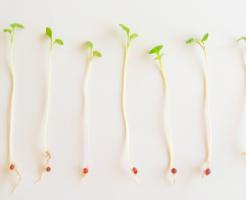 ブロッコリー 種 種類 寿命 大きさ