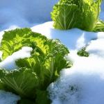 白菜と霜!甘みについて!