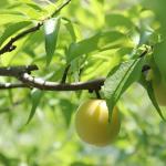 梅を自宅に植える!枝の剪定や育て方は?