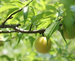 梅 枝 植える 育て方