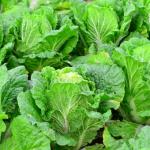 白菜の畑での育て方とは?保存方法は?