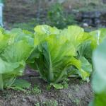 白菜の成長が遅い!?原因と対策は?