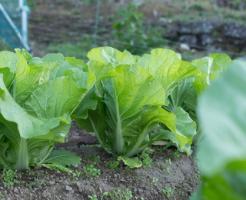 白菜 成長 遅い 原因 対策