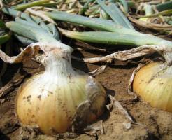 玉ねぎ 種 種類 価格 収穫 方法