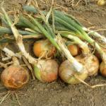 玉ねぎを栽培!水やりの方法とは?玉ねぎの保存方法は?