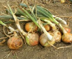玉ねぎ 栽培 水やり 方法 保存