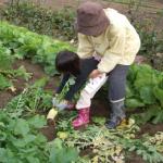 大根の収穫や日持ちする日数について!
