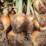 玉ねぎの根って食べられるの?玉ねぎの食べられる部分とは?