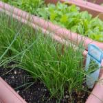 ニラのプランター栽培!プランターのサイズは?土や水やりは?収穫はいつ?