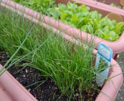 ニラ プランター サイズ 収穫 水やり 土