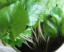 わさび 茎 葉 栄養 食べ方