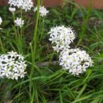 ニラと雑草の見分け方!除草の方法とやり方について!