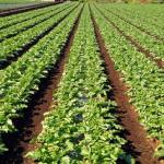 畑での大根の育て方!水やりや肥料は?