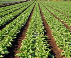 大根 育て方 水やり 肥料 畑