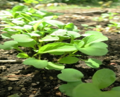 ベビーリーフ 栽培 露地