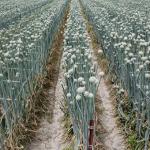 玉ねぎの収穫時期なのに収穫できない!とう立ちの原因は?対策や予防法は?