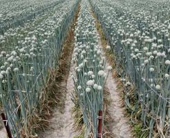 玉ねぎ 収穫時期 とう立ち 原因 対策 予防